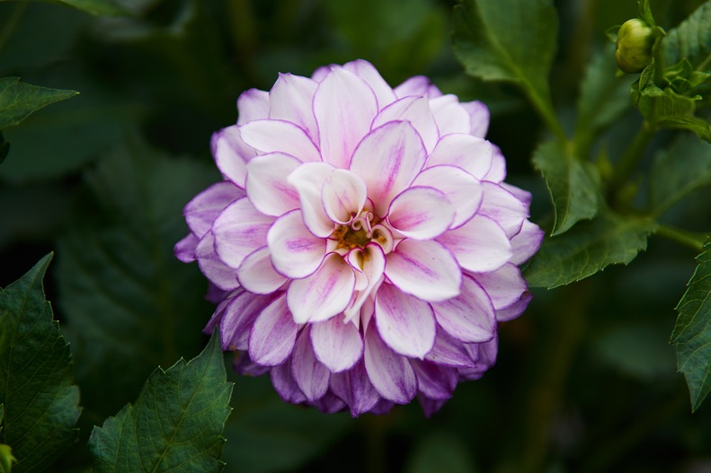 A white dahlia with delicate purple lining.