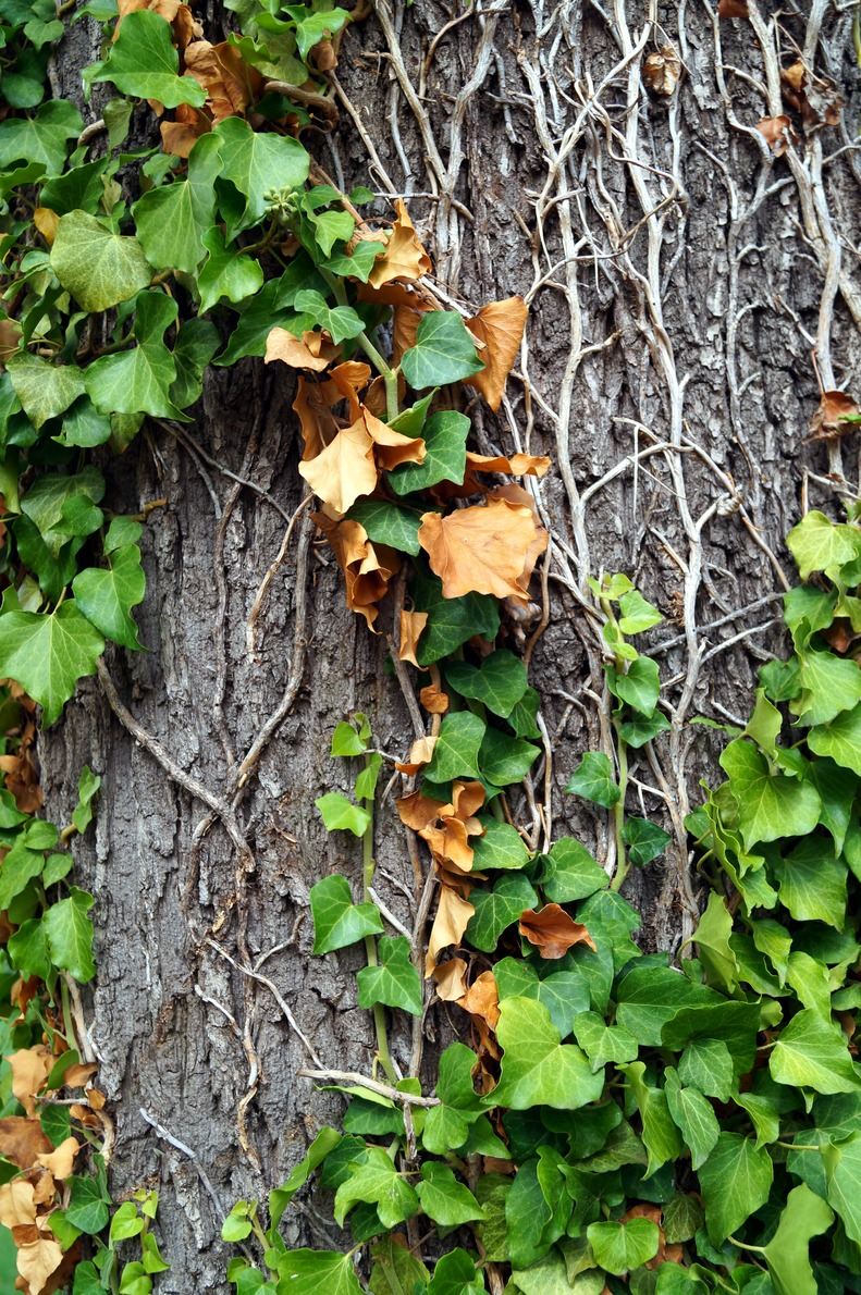 A tree bark partially covered in ivy.